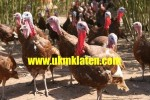Ternak/Budidaya Kalkun – Kalkun Farm